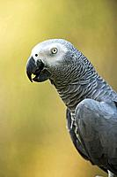 African Grey Parrot Psittacus erithacus