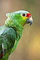 Red-lored Amazon or Red-lored Parrot Amazona autumnalis