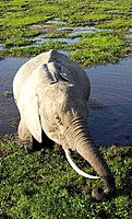 Elephant feeding in a swamp in Amboseli, Kenya
