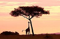 Masaii giraffe standing near a tree at sunrise, Kenya