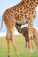 A Masaii giraffe nursing her calf in the Masaii Mara, Kenya