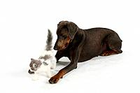 Dobermann Pinscher, blue, and Persian Cat, kitten
