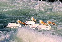 American White pelicans Pelecanus erythrorhynchos fishing, Saskatchewan, Canada
