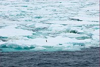 Lonely adelie penguin on pack ice