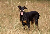 Doberman Pinscher standing in a lawn