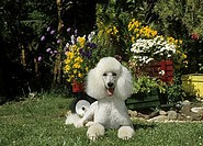 Standard poodle sitting in a garden