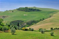 Cluster of grazing sheep on a hillside in Tuscany Italy