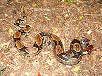 manaus am reptile snake natural dangerous animal on the ground