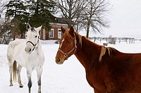 Gray thoroughbred horse and a cautious chestnut in front of a farmhouse