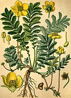 Historical chromo image 1880 of medicinal plant silverweed, argentine, goose grass, crampweed, potentilla anserina