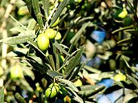 olive crop plantation production food meal on the tree