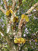 northeast traditional fruit jaca food meal