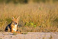 Africa, Botswana, Black_backed Jackal Canis mesomelas lying