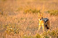 Africa, Botswana, Black_backed Jackal Canis mesomelas standing in grass