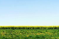 Germany, Bavaria, Rape field