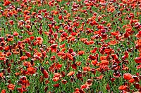 Germany, Bavaria, Neufahrn, Poppy field Papaver rhoeas