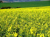 a canola crop plantation for oil