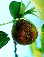 a natural fig fruit on the tree