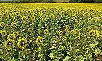 natural sunflowers plantation