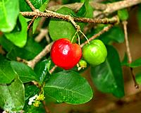 natural fruits acerola from brazil northeast