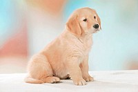 Golden Retriever _ puppy _ sitting restrictions: Tierratgeber_Bücher / animal guidebooks