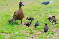 mallard with ducklings _ on meadow / Anas platyrhynchos