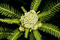 """Yarrow, Milfoil, Achillea millefolium"" ""Corolla, NC 27927 USA; Outer Banks, Currituck Heritage Park, near Currituck Sound"""