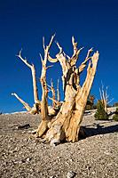 USA, America, United States, North America, Bristlecone Pines, Trees, California, Landscape, scenery, Scenic, North Am