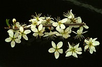 blossoms of the Sloe, blackthorn, Prunus spinosa, Prugnolo,