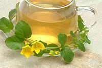 Creeping Jenny Tea, infuso di Mazza d oro minore, Lysimachia nummularia, Mazza d oro minore, medicinal tea,