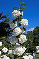 Japanese Snowball Tree ´Rotundifolium´ Viburnum plicatum