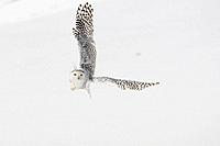 Snowy Owl, female, Nyctea scandiaca