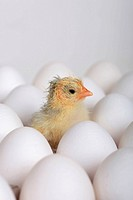 Domestic Fowl, freshly hatched chick between eggs