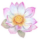 Illustration of a pink and white lotus