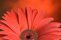 Close_up of a red daisy