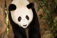 High angle view of a panda, Xiangjiang Safari Park, Guangzhou, Guangdong Province, China