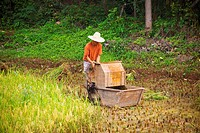 Farmer working in a rice paddy field, Yangshuo, Guangxi Province, China
