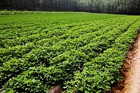 Potato crop in a field, Zhigou, Shandong Province, China