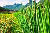 Rice crop in a field, XingPing, Yangshuo, Guangxi Province, China