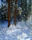 Snow covered Ponderosa Pine (Pinus ponderosa). Deschutes National Forest. Oregon. USA