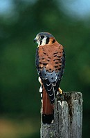 American Kestrel (Falco sparverius)