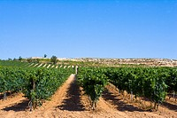 Spain _ Castile and Leon _ Province of Valladolid _ Route of Ribera del Duero _ Sotillo de la Ribera _ Vines