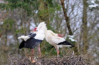 Two White Storks Ciconia Ciconia standing on its nest