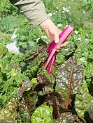 Picking red_stemmed chard