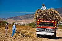 Three mature men loading crop on a pick_up truck, Oaxaca, Oaxaca State, Mexico