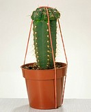 grafted cactus with fastening
