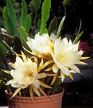 leaf cactus _ blossoms