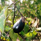 eggplant / Solanum melongena