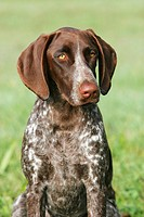 German Shorthaired Pointer _ portrait