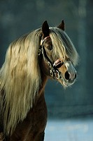 Black Forest horse _ portrait